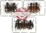 Scientific lot no. 50 Rutelinae (7 pcs)