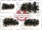 Scientific lot no. 162 Tenebrionidae (19 pcs)