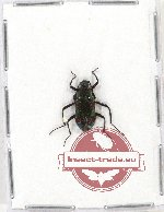 Scientific lot no. 163 Tenebrionidae (1 pc)