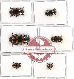 Scientific lot no. 32 Erotylidae (6 pcs)