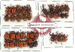 Scientific lot no. 18 Attelabidae (36 pcs - 3 pcs A2)