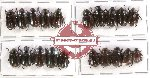 Scientific lot no. 48 Rutelinae (20 pcs - 5 pcs A2)