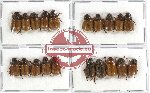 Scientific lot no. 48A Rutelinae (Adoretini) (20 pcs - 10 pcs A2)