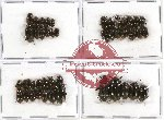 Scientific lot no. 160 Tenebrionidae (46 pcs)