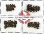 Scientific lot no. 158 Tenebrionidae (35 pcs)