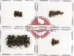Scientific lot no. 159 Tenebrionidae (17 pcs)