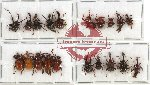 Scientific lot no. 20 Attelabidae (20 pcs - 5 pcs A2)