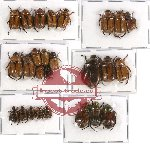 Scientific lot no. 47 Rutelinae (26 pcs - 9 pcs A2)