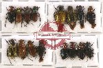 Scientific lot no. 1 Glaphyrinae (16 pcs A-, A2)