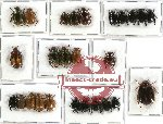 Scientific lot no. 45 Rutelinae (26 pcs)
