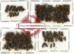 Scientific lot no. 100 Hymenoptera (61 pcs)
