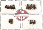 Scientific lot no. 16 Lagriidae (14 pcs A, A-, A2)