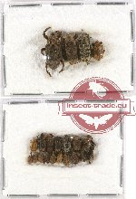 Scientific lot no. 223 Curculionidae (21 pcs)