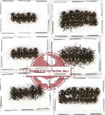 Scientific lot no. 157 Tenebrionidae (51 pcs)