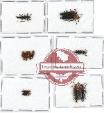 Scientific lot no. 10A Languridae (12 pcs - 5 pcs A2)