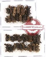 Scientific lot no. 221 Curculionidae (33 pcs)