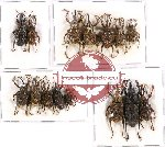 Scientific lot no. 218 Curculionidae (15 pcs - 3 pcs A2)