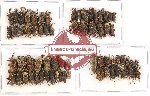 Scientific lot no. 220 Curculionidae (66 pcs)