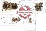Scientific lot no. 60 Anthribidae (10 pcs)