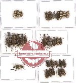 Scientific lot no. 61 Anthribidae (31 pcs)