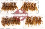 Scientific lot no. 83 Hymenoptera (22 pcs)