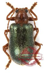 Chrysomelidae sp. 36