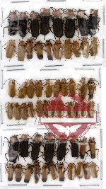 Scientific lot no. 2 Cantharidae (59 pcs)