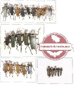 Scientific lot no. 4 Cantharidae (25 pcs)