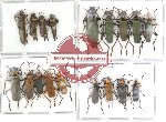 Scientific lot no. 5 Cantharidae (18 pcs)