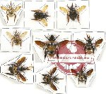 Scientific lot no. 121 Hymenoptera (Bombus spp.) (9 pcs A, A2)