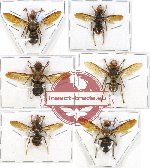Scientific lot no. 112 Hymenoptera (Vespa spp.) (6 pcs)