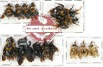 Scientific lot no. 107 Hymenoptera (14 pcs - 7 pcs A2)