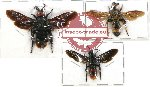 Scientific lot no. 119 Hymenoptera (Scoliidae) (3 pcs - 1 pc A2)