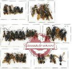 Scientific lot no. 113 Hymenoptera (33 pcs A, A-, A2)