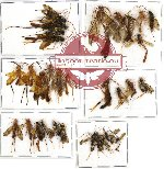 Scientific lot no. 112A Hymenoptera (32 pcs A, A-, A2)