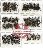 Scientific lot no. 225 Curculionidae (49 pcs - 5 pcs A2)