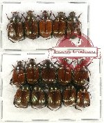 Scientific lot no. 59 Rutelinae (15 pcs)