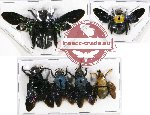 Scientific lot no. 79 Hymenoptera (Xylocopa spp.) (6 pcs - 2 pcs SPREAD)