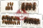 Scientific lot no. 10 Cantharidae (39 pcs)