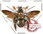 Xylocopa sp. 1A (SPREAD) (10 pcs)