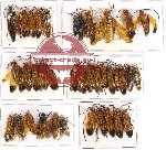 Scientific lot no. 111 Hymenoptera (36 pcs A, A-, A2)