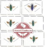 Scientific lot no. 14 Chrysididae (6 pcs)