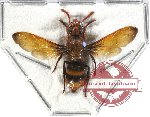 Eumenidae sp. 6 (SPREAD) (5 pcs)