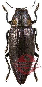 Chrysodema (s.str.) radians - black