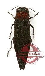 Agrilus sp. 28 (10 pcs A-/A2)