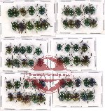 Scientific lot no. 174A Chrysomelidae (60 pcs A, A-, A2)