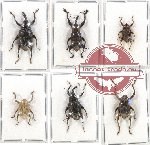 Scientific lot no. 242 Curculionidae (6 pcs)
