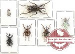 Scientific lot no. 241 Curculionidae (6 pcs)