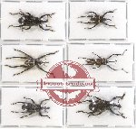 Scientific lot no. 244 Curculionidae (6 pcs)