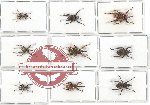 Scientific lot no. 238 Curculionidae (9 pcs - 1 pc A2)